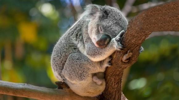 WWF: dopo gli incendi australiani, il koala rischia seriamente l'estinzione