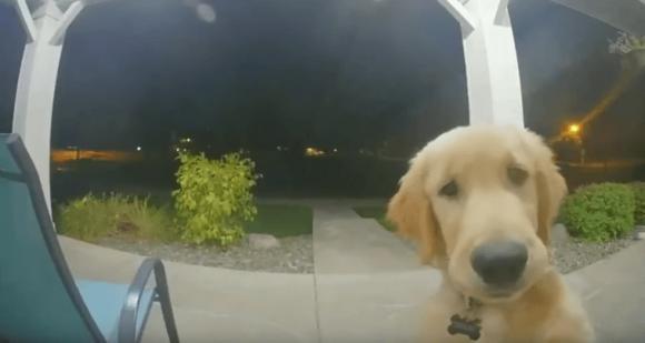 Un cane suona il campanello per rientrare a casa dopo essere fuggito