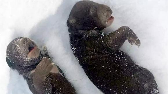 Cuccioli di orso morti congelati: la mamma ferita da boscaioli ubriachi