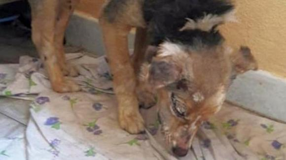 Sardegna: cagnolina torturata con il fuoco, viva per miracolo