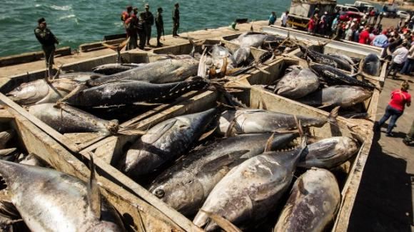 Tonno a rischio estinzione: la pesca selvaggia lo sta decimando