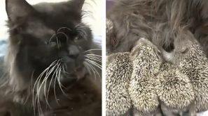 Dei cuccioli di riccio perdono la mamma. Una gattina li adotta in modo amorevole!