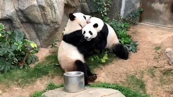 Hong Kong: zoo chiuso causa Covid-19, due panda giganti si accoppiano dopo 10 anni