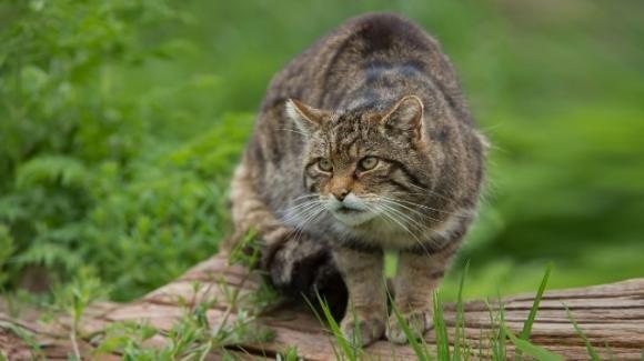 Liguria, alla ricerca del gatto selvatico: il progetto di due fotografi