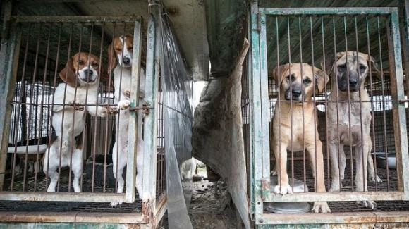 Corea del Sud, allevatore di cani da carne abbandona l'attività per coltivare ortaggi
