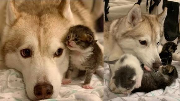 Quattro gattini scambiano un cane Husky per la loro madre