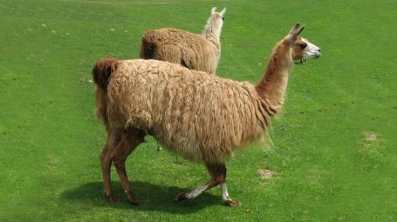 Covid-19, gli anticorpi dei lama potrebbero annientare il virus