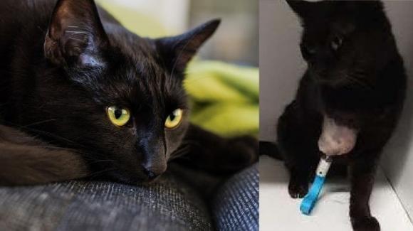 Gatto ritrova una normale mobilità grazie ad una protesi: intervento chirurgico all'avanguardia