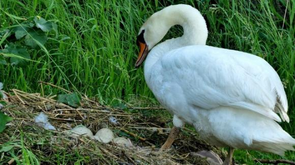 Le distruggono le uova a sassate, mamma cigno muore di crepacuore