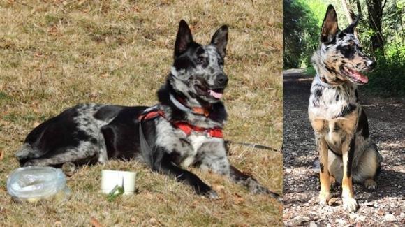 Il cane delle Alpi Apuane è diventata una razza ufficialmente riconosciuta