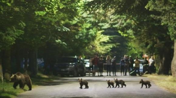 Abruzzo, famiglia di orsi attraversa la strada a Villalago