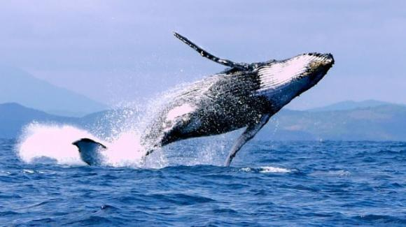 Le balene del Nord Atlantico sono ufficialmente ad un passo dall'estinzione