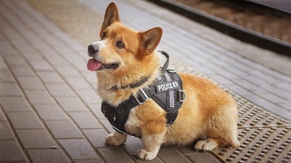Redhead, il cane poliziotto speciale dalle zampe corte