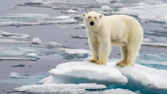 Gli orsi bianchi potranno estinguersi entro il 2100