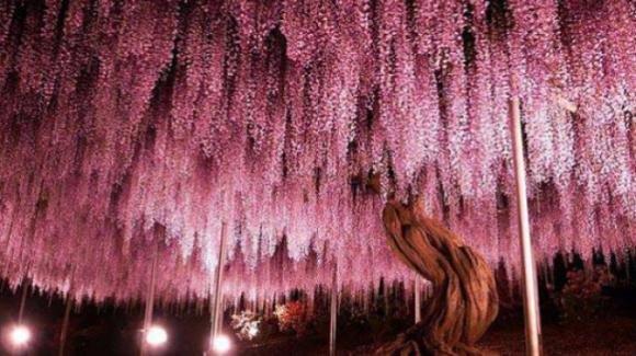 Giappone, un glicine di 144 anni che assomiglia a un cielo rosa