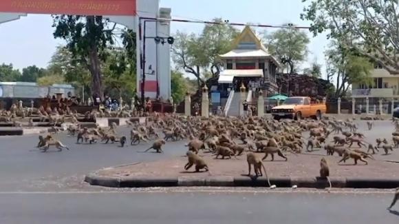 Thailandia: migliaia di scimmie invadono la città di Lopburi in Lockdown