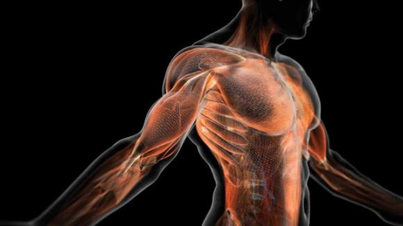 Isolati 141 geni che regolano la crescita muscolare