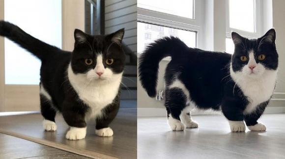 Manchester, il gatto dalle zampe corte diventato star di Instagram
