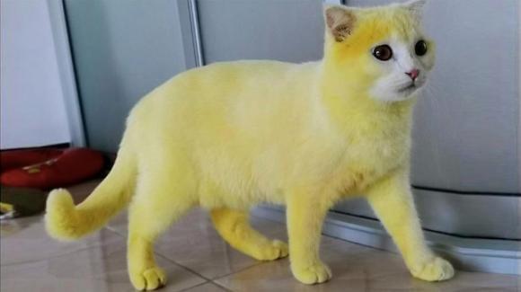 Gatto diventa completamente giallo a causa di un fungo