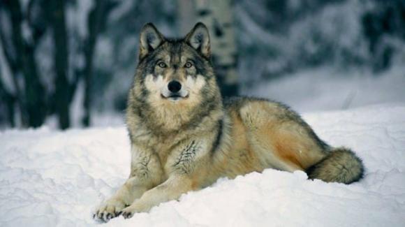 Stati Uniti, i lupi grigi non sono più specie protetta: al via la caccia