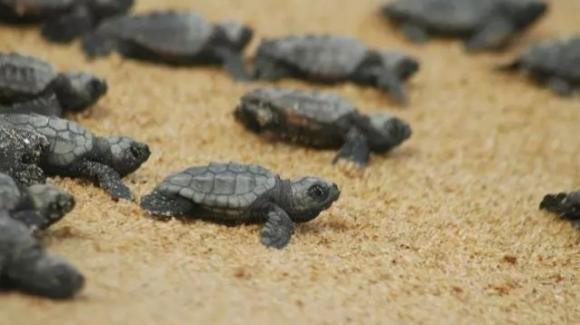 Sicilia: nidi di tartarughe che crescono a dismisura danno nuova speranza all'ecosistema