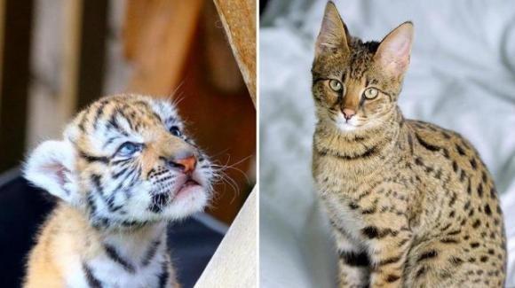 Comprano online un gatto Savannah per poi scoprire che è una tigre di Sumatra