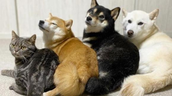 Un gatto viene adottato da tre Shiba Inu, ora si crede un cane