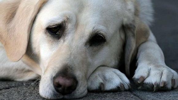 Crisi di mezza età, anche i cani ne soffrono