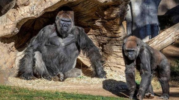San Diego, gorilla trovati positivi al Covid-19 in un zoo: hanno congestione nasale e sintomi lievi