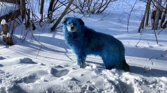 Russia, dei cani sono diventati blu. Si indaga sui rifiuti chimici