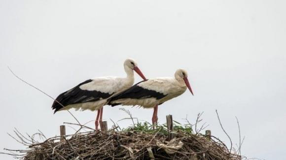 Le cicogne bianche nidificano sui tralicci