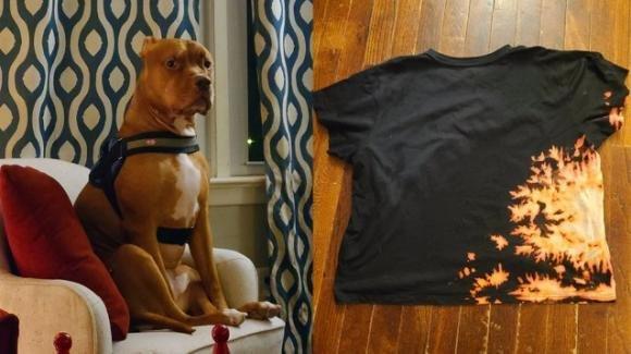 Pitbull rovescia una bottiglia di candeggina sulla maglietta: il risultato è sorprendente