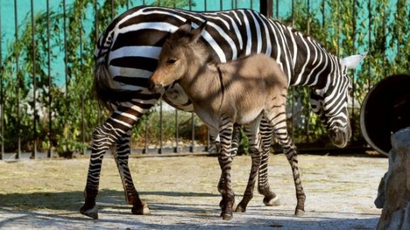 Kenya: nato un cucciolo che è un ibrido tra zebra e asino