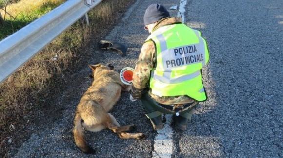 Lupo trovato morto sul ciglio della superstrada Lecce-Brindisi
