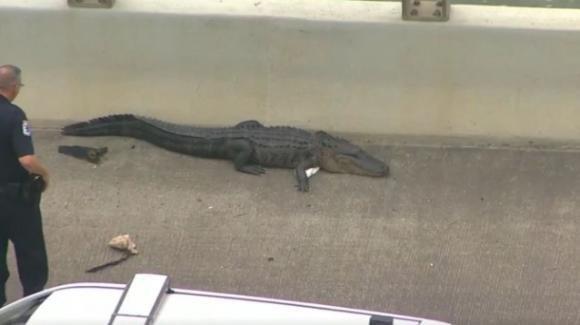 Texas: enorme alligatore sulla strada causa un ingorgo, cinque persone per rimuoverlo