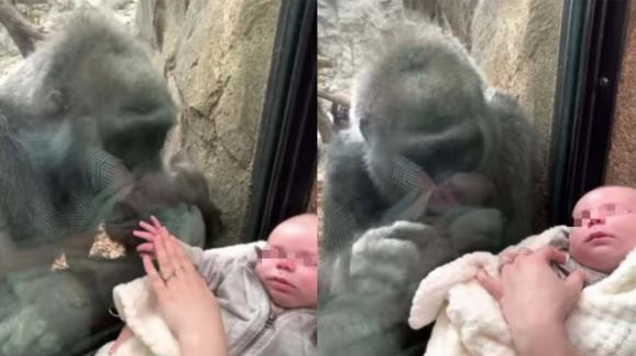 Gorilla femmina attratta da un neonato: il video diventa virale