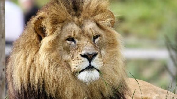Il leone, il re della foresta, a rischio estinzione