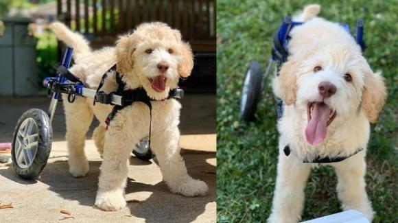 Cucciolo paralizzato camminerà grazie ad una sedia a rotelle