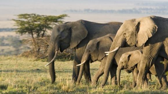Gli elefanti si adattano all'ambiente, così sfuggono al bracconaggio