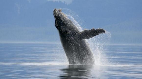 USA, pescatore inghiottito da una balenottera azzurra: si salva grazie ad un colpo di tosse