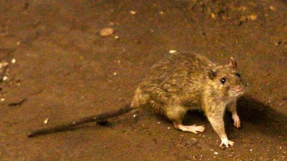 """Gorizia, segnalto un caso di infezione da """"Febbre del topo"""""""