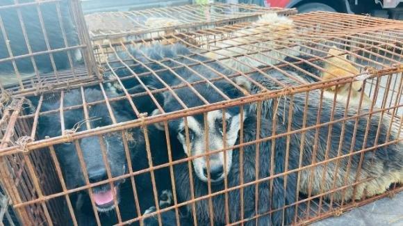 Cina: salvati dozzine di cani destinati al macello per il Festival di carne di cane