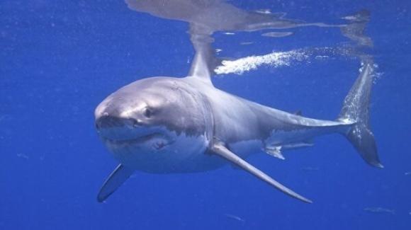 Imperia, avvistato un grande squalo: ha azzannato un pesce spada appeso all'amo