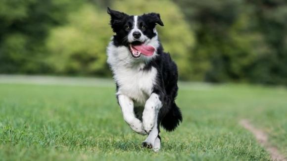 Border Collie, cane da compagnia di spiccata intelligenza