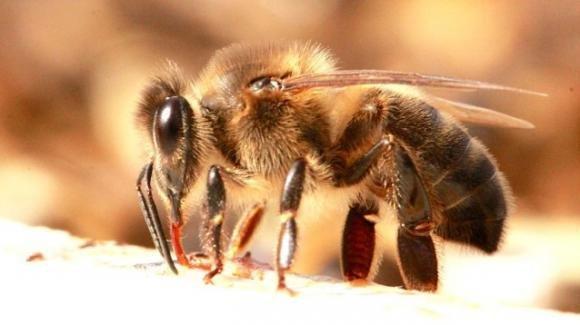 Brindisi, falegname viene punto da un'ape e muore poche ore dopo in ospedale