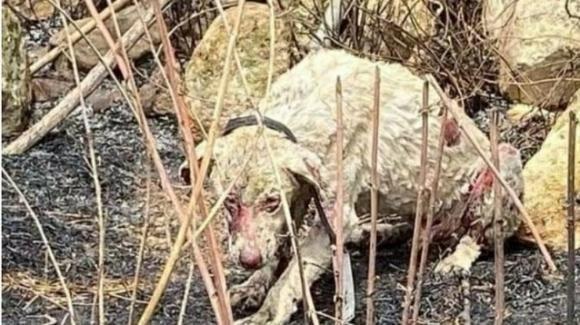 Oristano, cane pastore protegge le pecore dalle fiamme: si salva grazie al veterinario