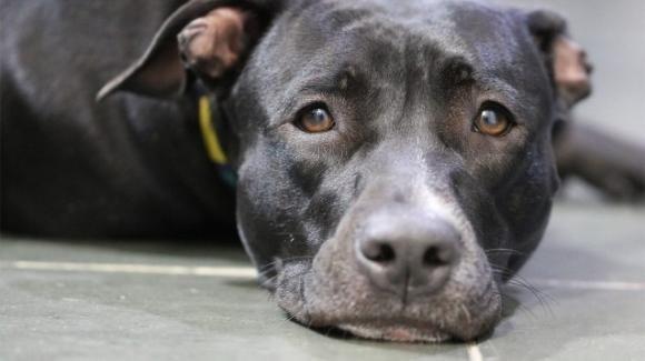 USA, cane lasciato in auto per punizione: muore per il caldo, la padrona viene arrestata