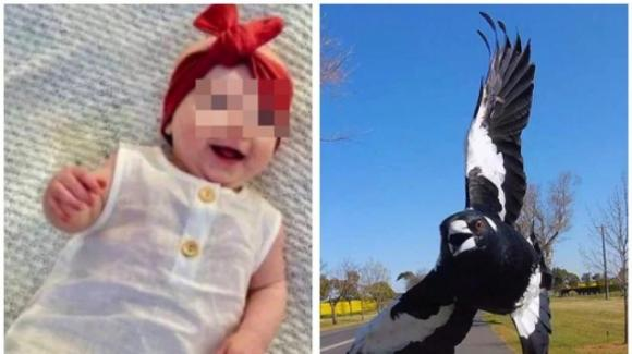Australia, gazza in picchiata attacca madre e figlia: bimba di 5 mesi muore