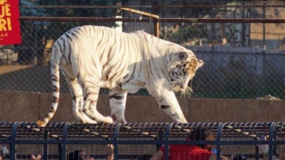 Cile, la gabbia della tigre resta aperta: il felino sbrana una addetta alle pulizie