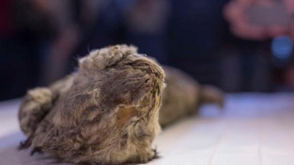 In Siberia ritrovato leone delle caverne mummificato di 28000 anni